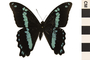 Image of Green-banded Swallowtail
