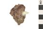 Image of Phytosaur