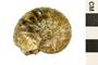 Image of Ammonite