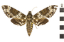 Image of Hawk Moths