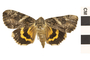 Image of Penitant Underwing