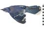 Image of Blue Jay