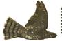 Image of Sharp-shinned Hawk