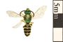Image of Metallic Green Bee