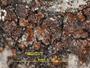 Acarospora fuscata image