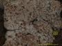 Arthonia antillarum image