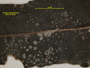 Aulaxina quadrangula image