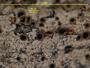 Bacidia albomaculans image