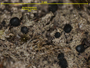 Bacidia bagliettoana image