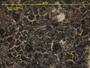 Bacidia coprodes image