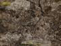 Bacidia diffracta image