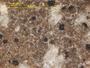 Bacidia scopulicola image