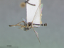 Euscelidia hyalina Dikow, 2003