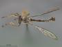 Euscelidia lucioides Dikow, 2003