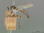 Ommatius lineolatus Scarbrough, 1988