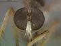 Ommatius genitalis Joseph & Parui, 1987