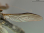 Ommatius tibialis Say, 1823