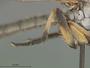 Ommatius ouachitensis Bullington & Lavigne, 1984