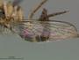 Ommatius nilgiriensis Joseph & Parui, 1989