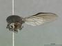 Ommatius gwenae Scarbrough, 1984