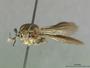 Ommatius falcatus Scarbrough, 1984