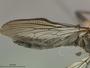 Ommatius oreophilus Farr, 1965
