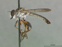 Ommatius hanebrinki Scarbrough & Rutkauskus, 1983
