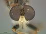 Ommatius flavicaudus Malloch