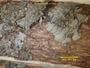 Coccocarpia pellita image