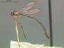 Schildia microthorax Aldrich, 1923