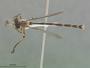 Leptogaster jamaicensis Farr, 1963
