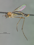 Leptogaster spinitarsis Bromley, 1951