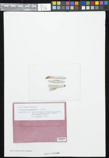 Acanthothecis pachygraphoides image