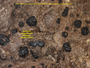 Catinaria atropurpurea image