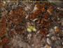 Seawardiella lobulata image