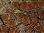 Blastenia ferruginea image