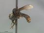Trigonomima canifrons Enderlein, 1914