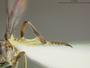 Beameromyia graminicola Farr, 1963
