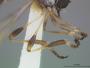 Beameromyia vulgaris Martin, 1957
