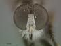 Ommatius parvulus Schaeffer, 1916