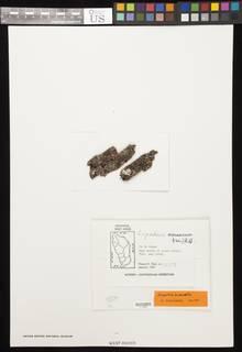 Image of Calopadia lecanorella