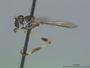 Beameromyia disfascia Martin, 1957