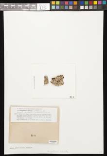 Image of Brigantiaea lobulata