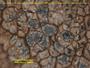 Caloplaca egyptiaca image