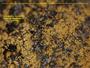 Leproplaca chrysodeta image