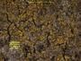 Candelariella efflorescens image