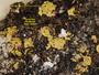 Carbonea vitellinaria image