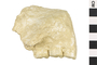 Image of Fossil Ape