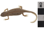 Image of Red-spotted Newt