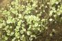 Poaceae - Acanthophora sp.